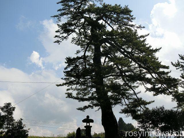 大村寺5 松の木