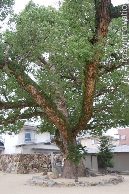 金倉寺17 大きな木