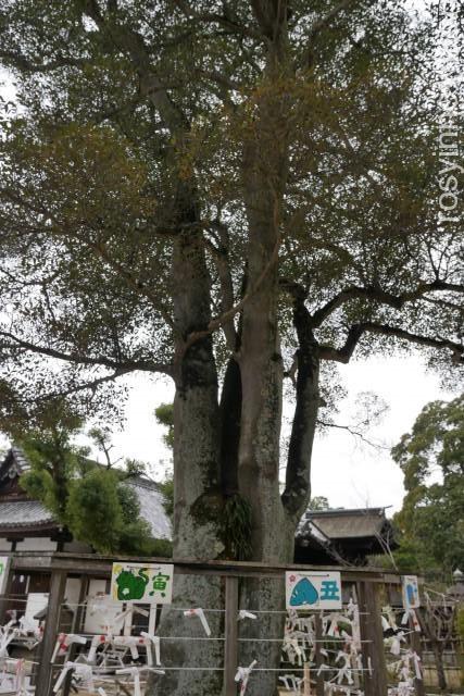 阿智神社11 縁結びの木